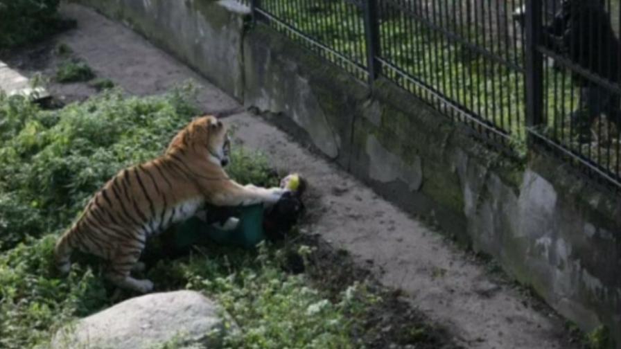 Сибирски тигър нападна жена в Русия