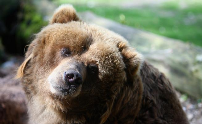150-килограмова мечка щурмува родопско село