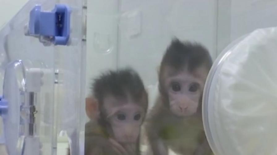 Китайци клонираха маймуни, идва ли ред на хората