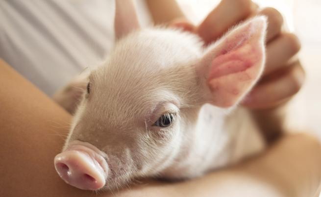 Умъртвяват всички домашни прасета в област Русе