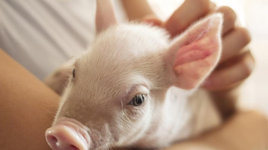 <p>Умъртвяват всички домашни прасета в област Русе</p>