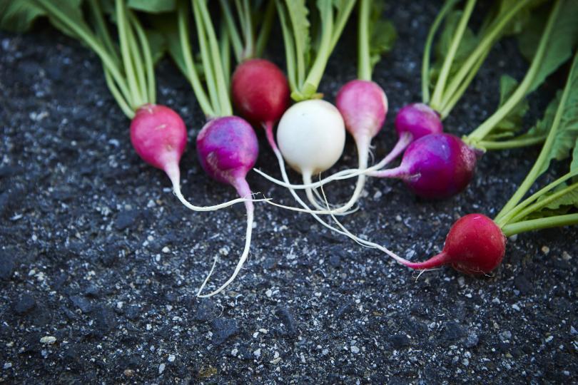 <p>Като кореноплодно растение ряпата притежава противовъзпалителни, антисептични и диуретични свойства, които позволяват да се премахнат инфекциите и да се засили защитната бариера на организма.</p>