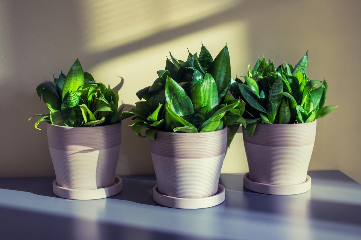 Змийско растение.