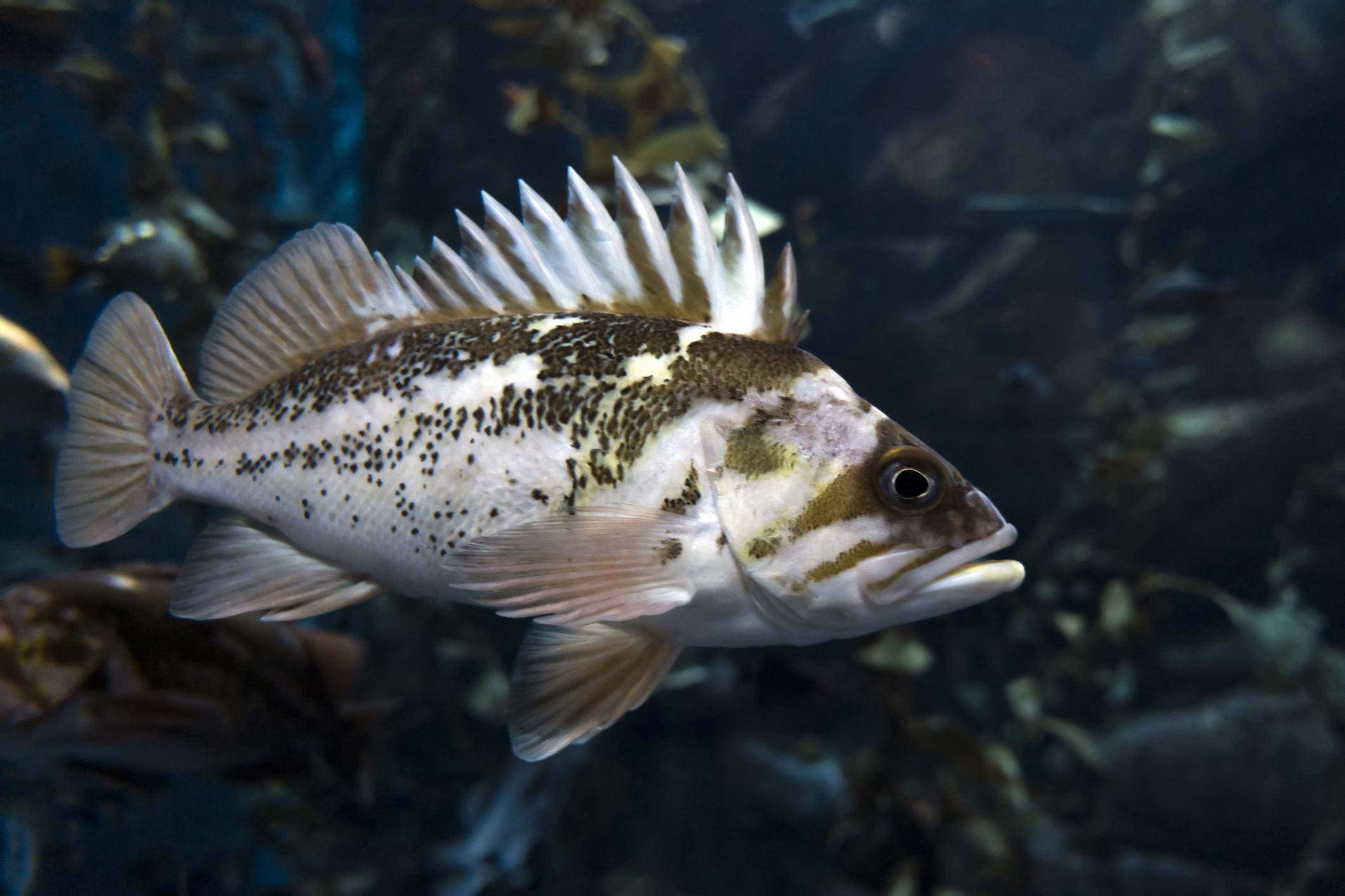 Океански костур. Енергия от 100 грама – 79 калории. Дълбоководна риба. Месото ѝ е богато на протеини и с изключително ниско съдържание на наситени мазнини. Богато е на минерали, включително желязо и на витамини от групите B, D, E и К. Съдържа и 19 полезни аминокиселини. Коефициент на хранителна стойност – 86.