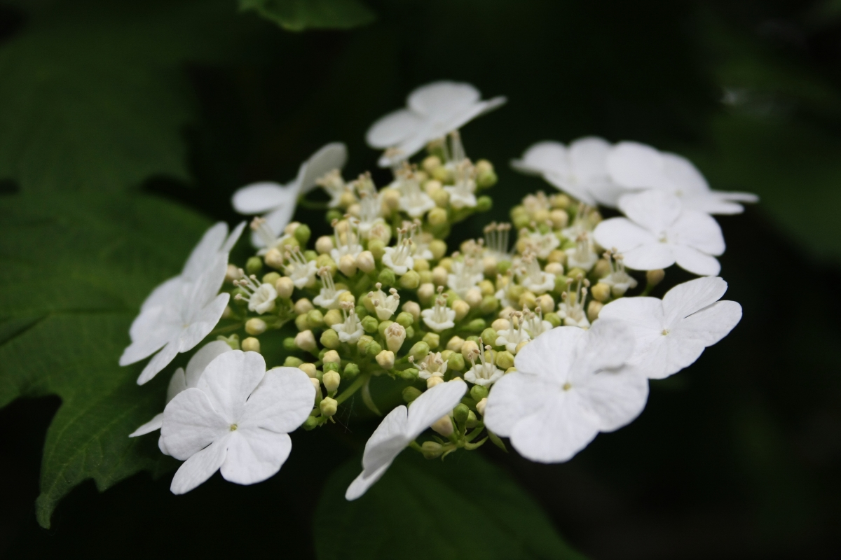 Червена калина. Цветовете й са бели, но след това дават червен плод, който се използва в народната медицина.