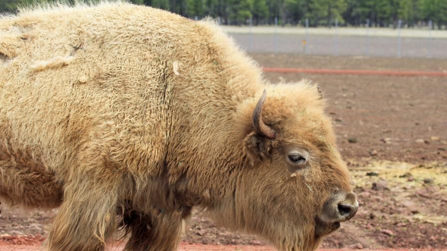 Рядък феномен: бял бизон се роди в Белград