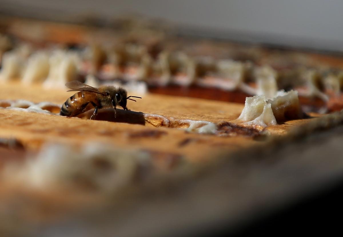 Когато пчелата-майка достигне половата си зрялост, тя излиза от кошера, където я чакат търтеите. Тя излита и се чифтосва с над 20 търтея за ден. Лошата новина за тях е, че след акта те са толкова изтощени, че падат на земята и умират.