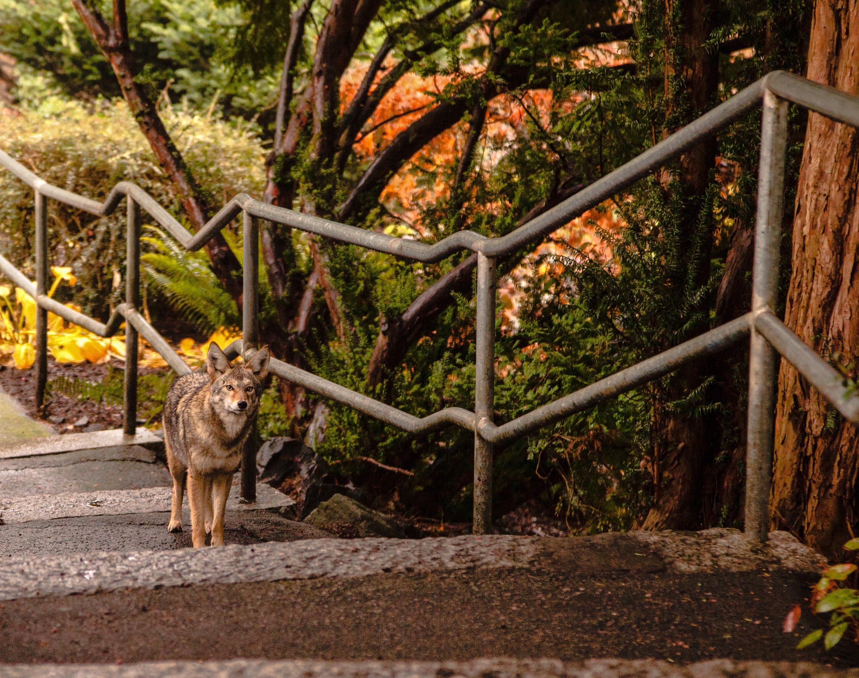Койот, САЩ<br /> <br /> Звукът на виещи койоти не е изненадващ за някои жители на Ню Йорк. Този вид се е адаптирал към градския живот в източната част на Северна Америка, запълвайки екологината ниша, оставена от залеза на вълците. Снимка на койот на покрив в Куинс превзе социалните мрежи през 2015, а други бяха открити в изоставени сгради и на паркинги.