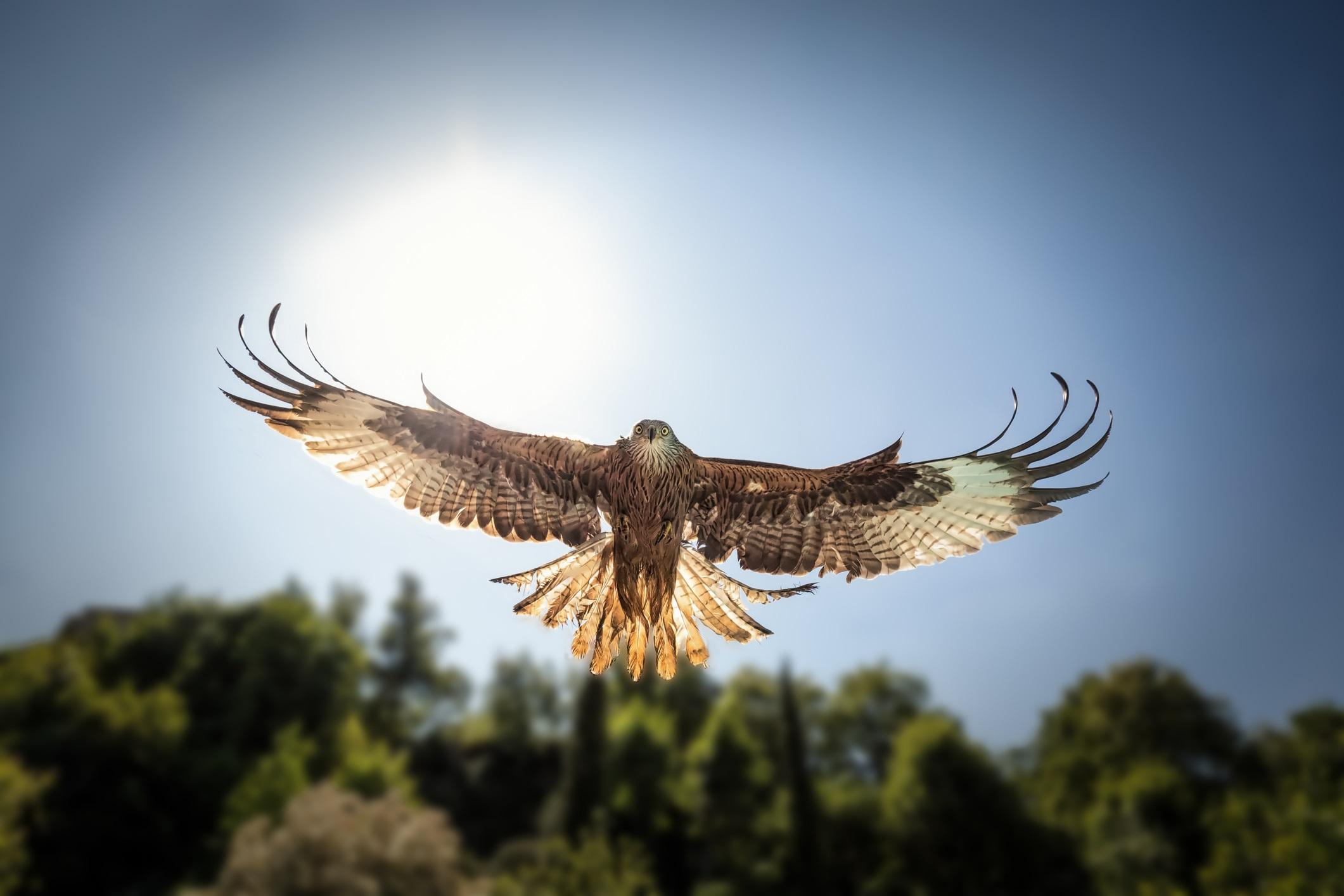 """Отравянето на тази птица обаче може да доведе до забавяне на темпа на възстановяване на популацията. Червената каня често се е срещала в градовете в средновековието, а Шекспир нарича Лондон """"град на червени каня и гарвани"""", преди тези птици да бъдат унищожени за няколко стотин години напред."""