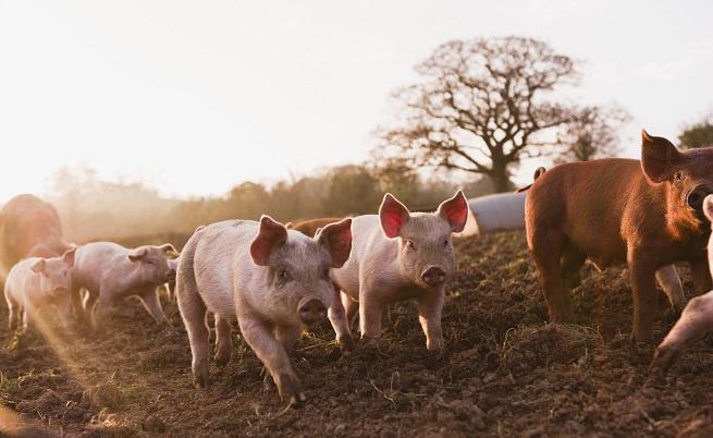 Десислава Танева: Няма нови огнища на чума по свинете