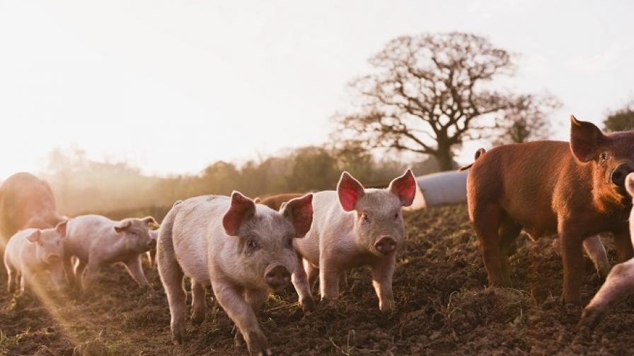 <p>Няма нови огнища на чума по свинете, 28 млн. лв.&nbsp;за обезщетения</p>