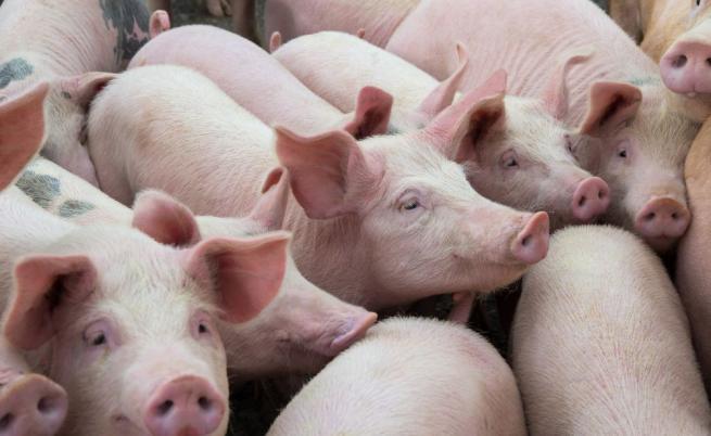 Бедствено положение в Добричко заради чумата по свинете