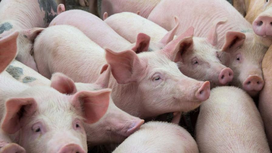 Нов случай на африканска чума, евтанизират домашни животни