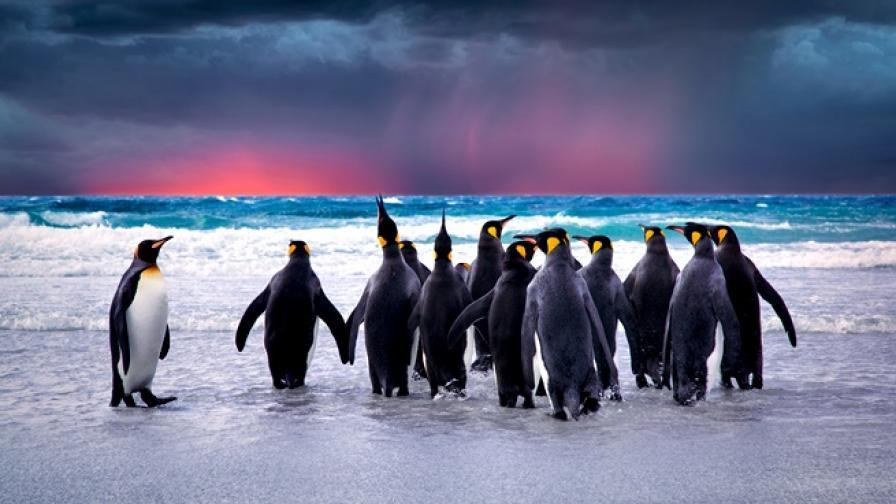 Изчезнаха 90% от пингвините в най-голямата колония