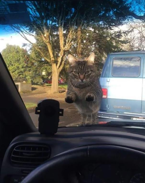 Този господин е забравил да нахрани котката си преди да излезе за работа и получава подобаващо посрещане.