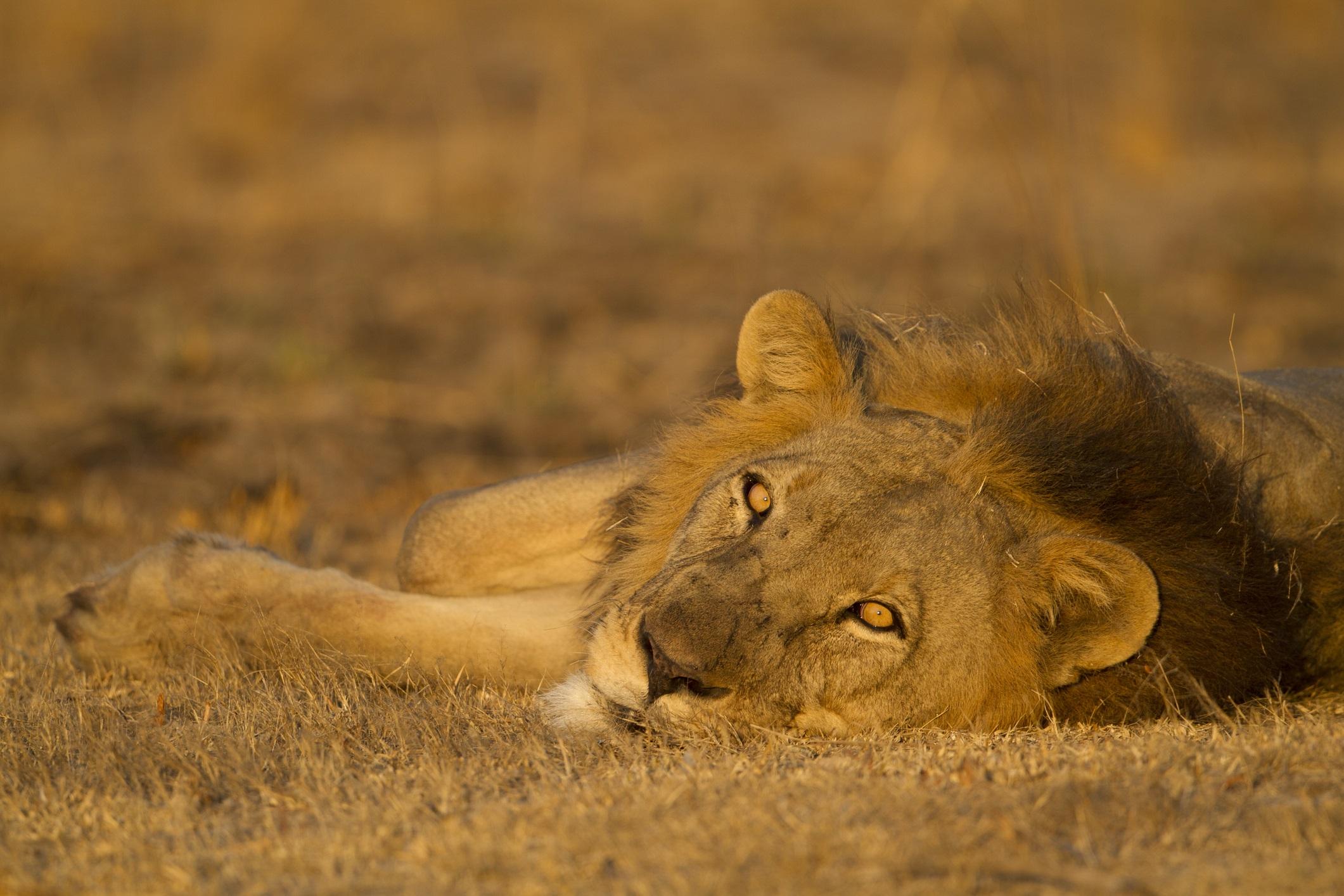 В същото време гигантският национален парк Кафуе, който е два пъти по-голям, привлича ценителите на сафари със своите феноменални наблюдения на лъвове и леопарди и невероятното разнообразие от антилопи, много видове от които рядко се срещат другаде. С изключение на носорог, големите пет са относително обичайни фигури тук. Лъвовете и гепардите често се виждат в равнините Бусанги и имате възможност да видите леопарди и боядисани кучета от лодка по река Луфупа. Замбия (заедно със Зимбабве) е известна с някои от най-добрите пътеводители в бизнеса и пешеходните сафарита, а нощните моторизирани разходки са нещо, които можете да се насладите тук, нещата които рядко са достъпни в национални паркове в други райони.
