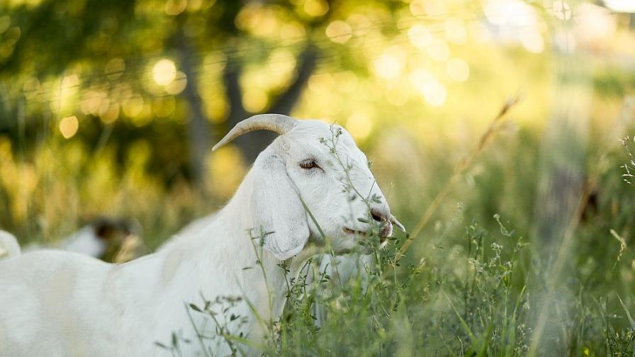 """Избити ли са бременни диви кози в парк """"Пирин"""""""