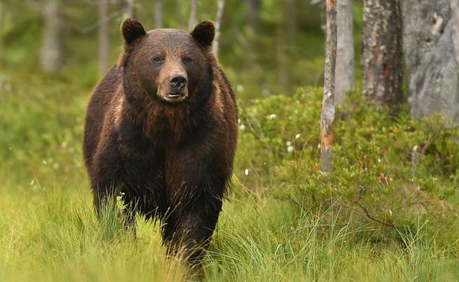 Бракониери застреляха кафява мечка в Рила
