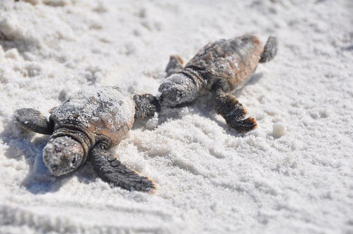 Мястото е толкова чисто, че застрашените от изчезване гигантски морски костенурки се завръщат да гнездят след десетилетия отсъствие.
