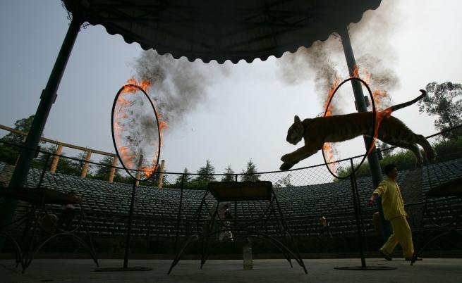 Тигър колабира на циркова арена, докато скача в огнен ринг