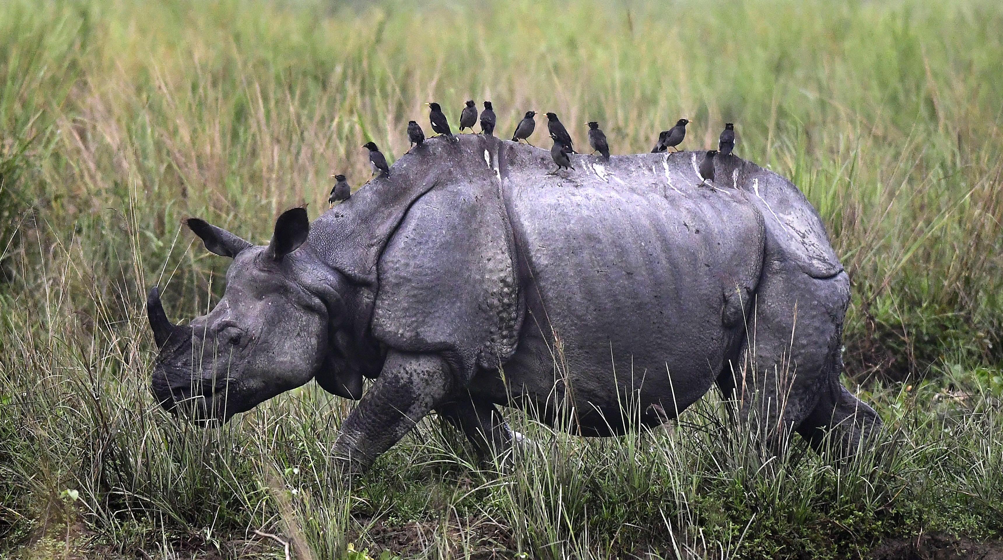 Това е едно от последните убежища на едрите бозайници на Азия и световноизвестно като основно местообитание на застрашения от изчезване индийски носорог.