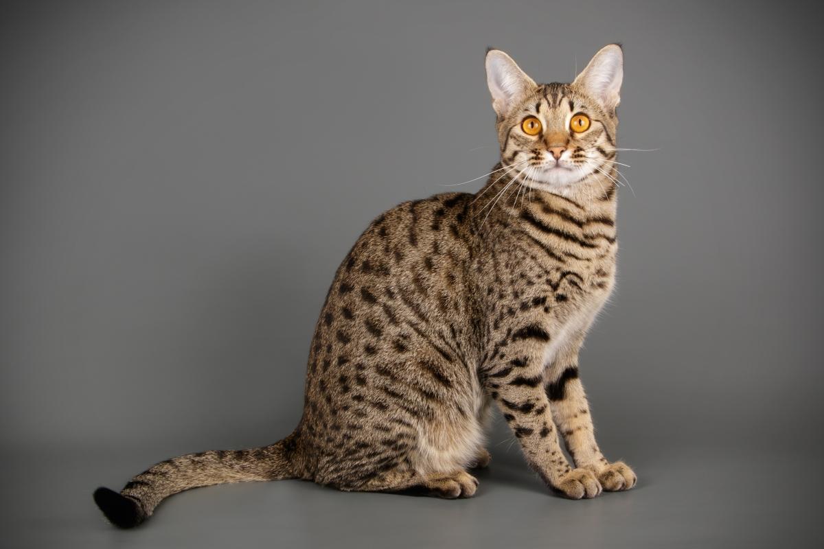 Котка порода савана – това е порода домашна котка, буквално умалено копие на сервала, макар и доста голяма. Опасни са не възрастните, а по-младите, които нападат непознати.