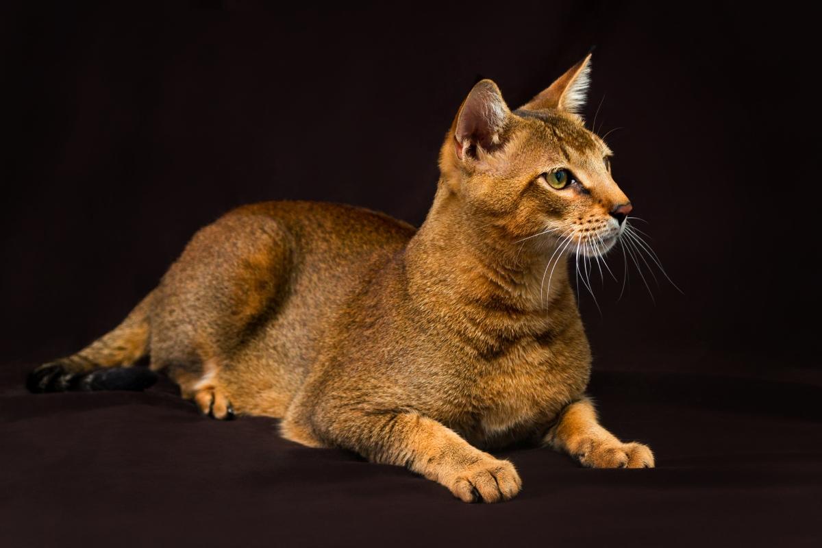 Чаузи – смес между домашна котка и див блатист рис. Тези мъркащи същества не могат да живеят в апартамент. Ако имат пространство и се отглеждат от детство, все пак можете да ги възпитате някак.