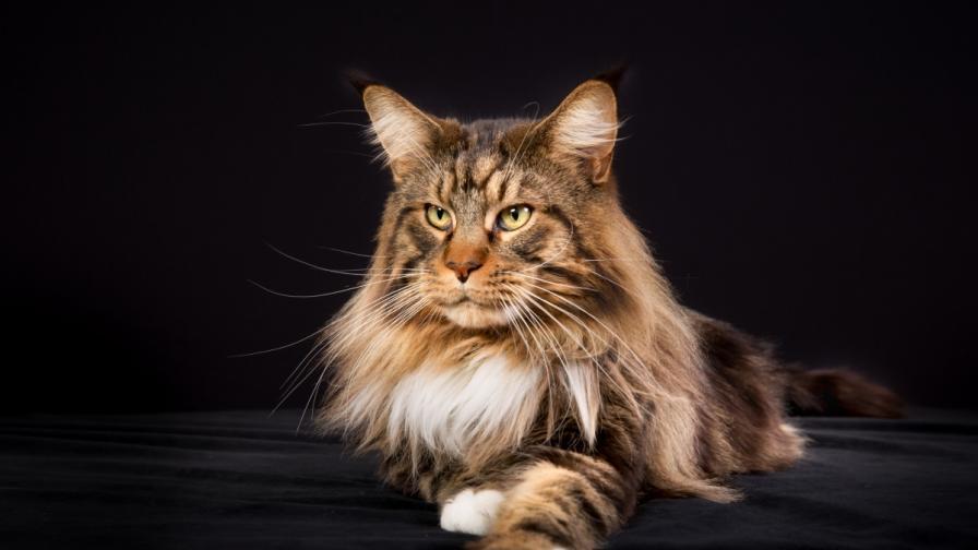 Най-опасните породи котки