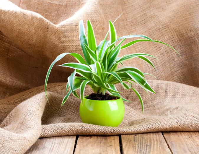 Хлорофитум: Много често срещано растение. Отглежда се лесно, предпочита светли места. Едно растение може да пречисти до 90% от вредните вещества във въздуха само за два дни. Поглъща неприятни миризми от нови мебели, ламинати, паркети, лепила и др. Тези качества на хлорофитума определено ще подобрят съня ви.