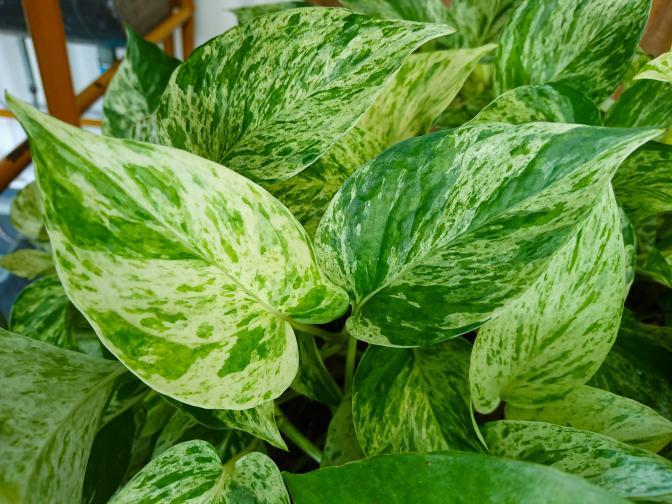 Сциндапсус: Това е друго мощно растение, което ако му позволите, ще направи обилна листна маса много бързо. Сциндапсуса е невероятно растение за пречистване на въздуха. Освен че е една от най-популярните и надеждни стайни растения на разположение днес, също така намира все по-широко приложение в изграждане на зелени стени.