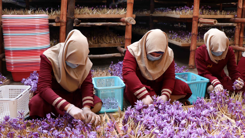 Световната банка обяви, че шафранът е доходоносна алтернатива на отглеждането на мак, защото купувачите по света са привлечени от доброто му качество