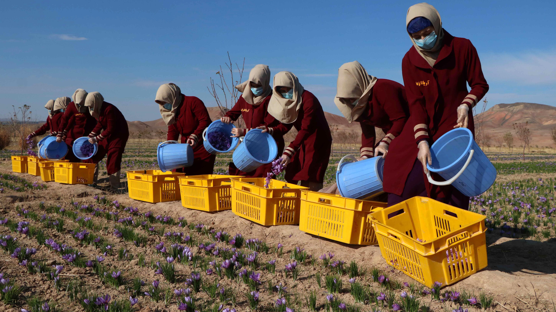 В отглеждането на шафран в провинция Херат са включени повече от пет хиляди фермери, като 40 процента от тях са жени.