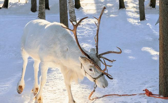 Снимки на снежнобяло еленче впечатлиха потребители в Инстаграм