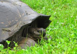 Защо галапагоскте костенурки живеят над 100 години
