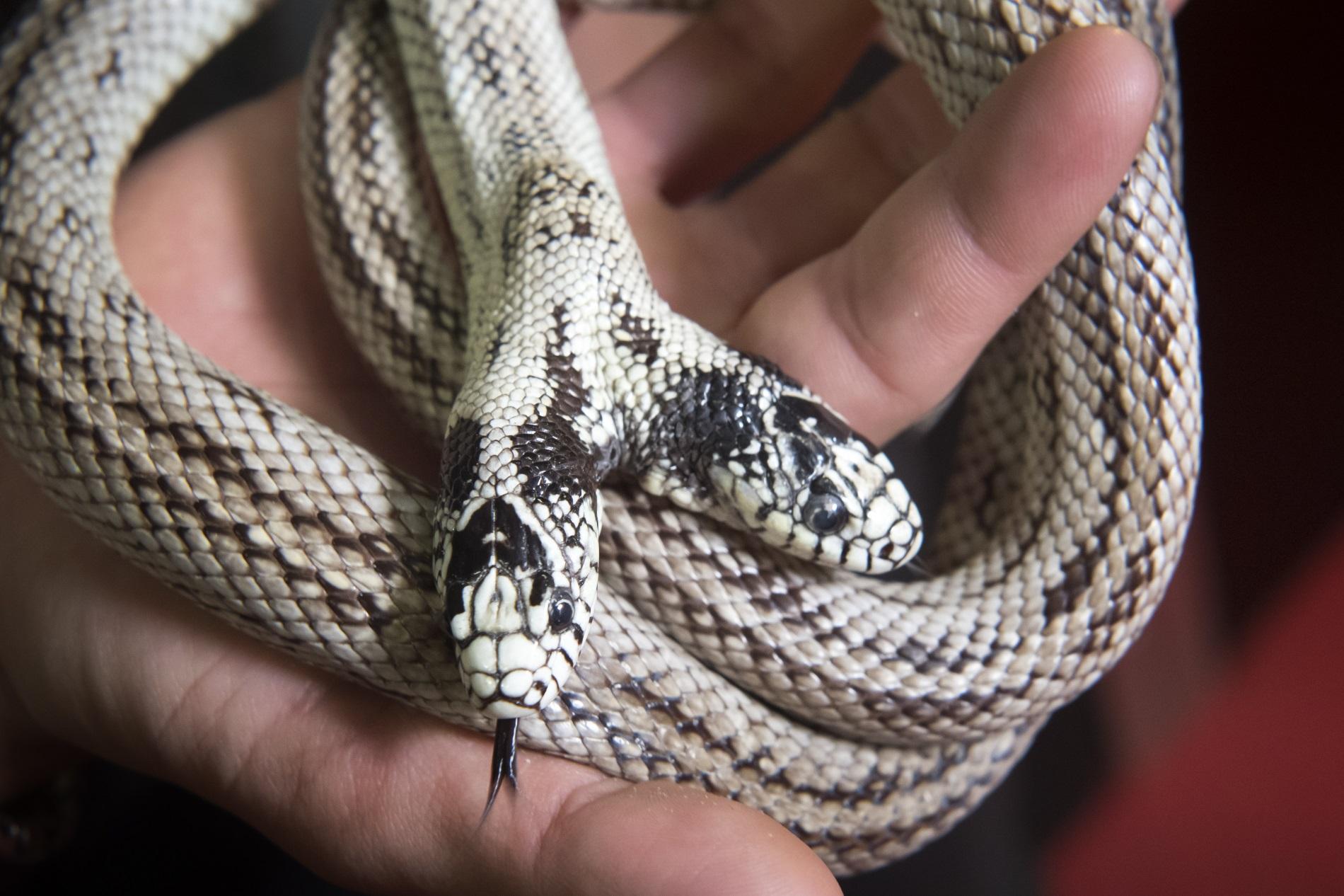 """Двуглавата калифорнийска змия (Lampropeltis getulus californiae), наречена """"Том и Джери"""", е снимана по време на изложбата 'Reptiles Expo' във Вилньов, Швейцария, 22 декември 2018 г."""