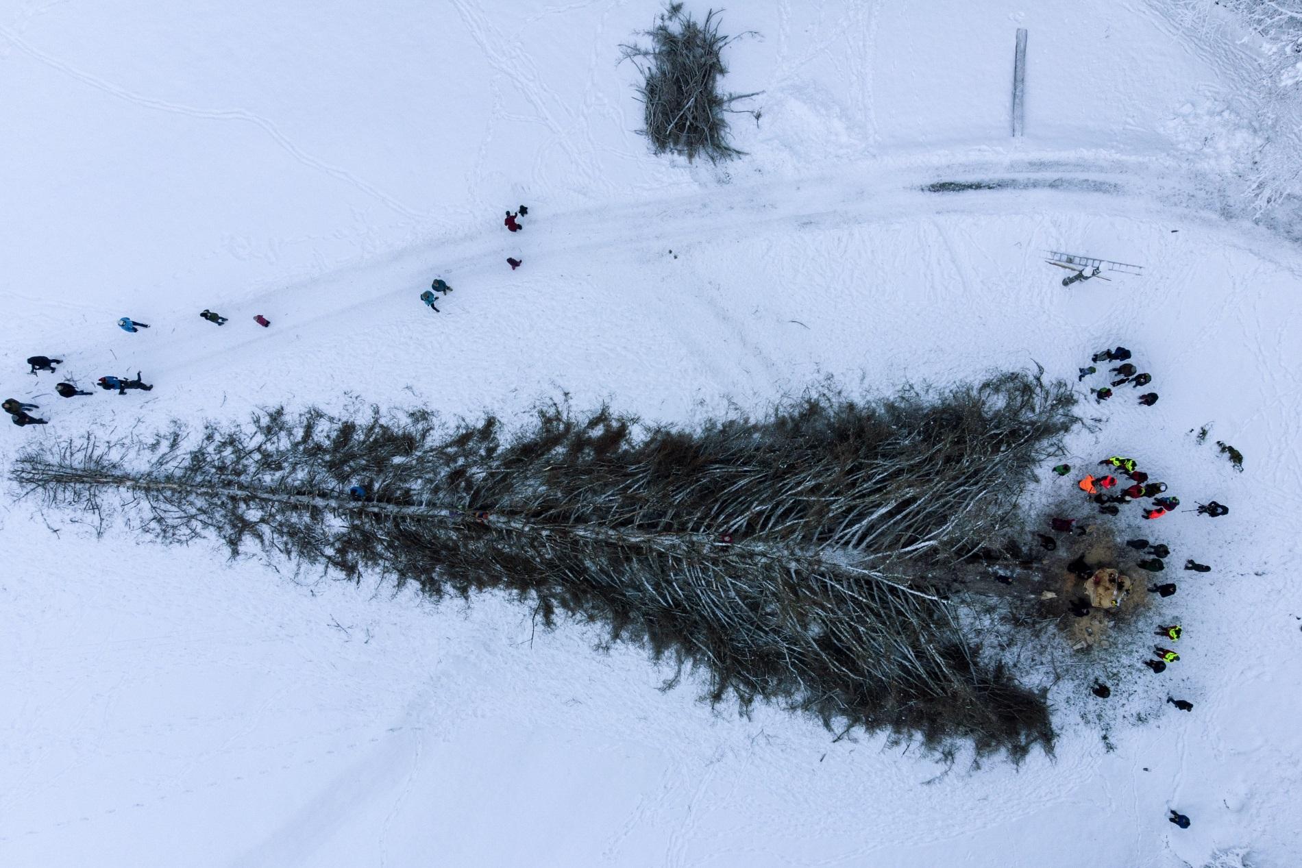 """Снимка от дрон показва хора, които са край отсечения най-висок бор в Швейцария""""La Pdnera"""", 12 декември 2018 г. 260-годишното дърво, високо 48 метра, се е разболяло, което е наложило да бъде отсечено"""