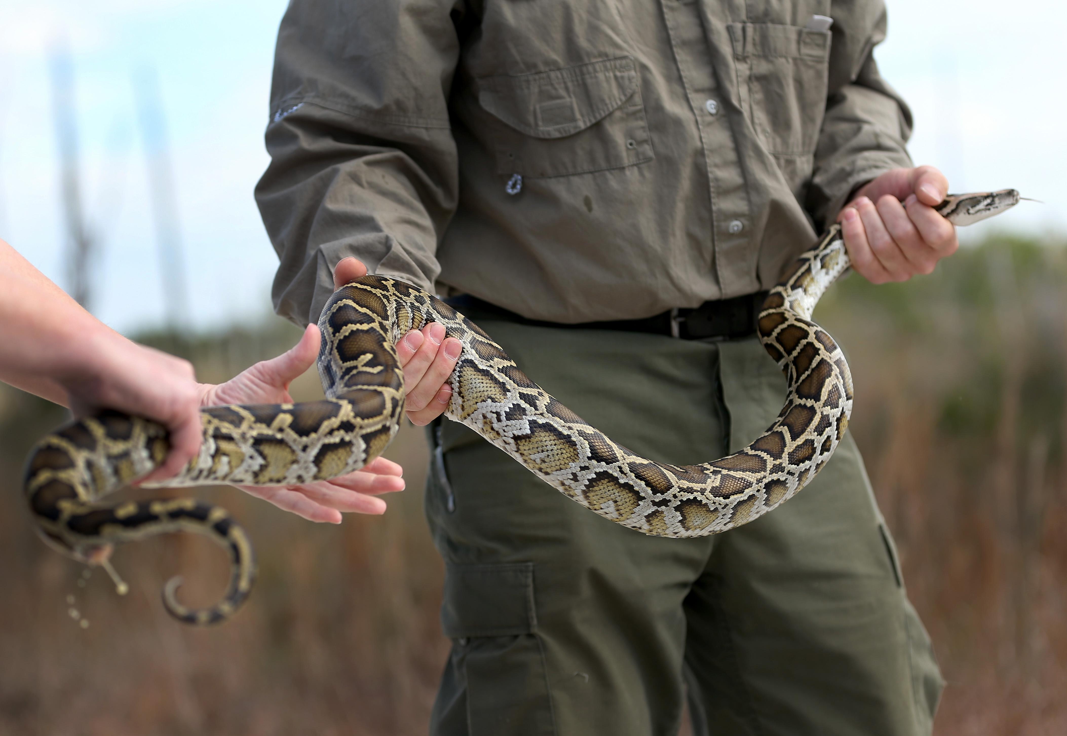 Питони в Маями<br /> За разлика от местните германски глигани, змиите във Флорида са имигранти. Проблемът произлиза от факта, че хората, които си купуват бебета Бирмански питони в местността, не осъзнават, че от 30 см за изключително кратко време те могат да увеличат размерите си до повече от 12 пъти. Топлото време, изобилието от вода и плячка в Маями и други части на Флорида превръщат средата за тези змии в един рай и така те започват да се разпространяват с бързи темпове.