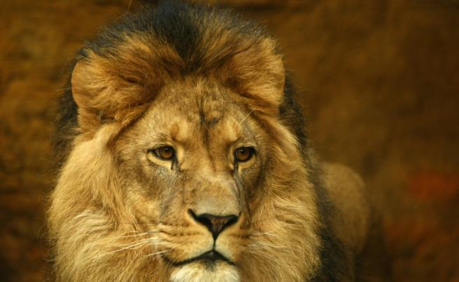 Кралят на саваната оглави конкурс за фотография