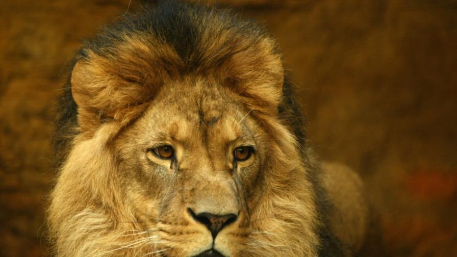 <p><strong>Кралят на саваната</strong>&nbsp;оглави <strong>конкурс</strong> за фотография&nbsp;</p>