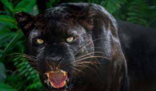 <p>Забелязаха <strong>черна пантера</strong> за пръв път от 100 години</p>