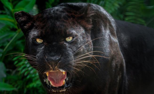 Забелязаха черна пантера за пръв път от 100 години