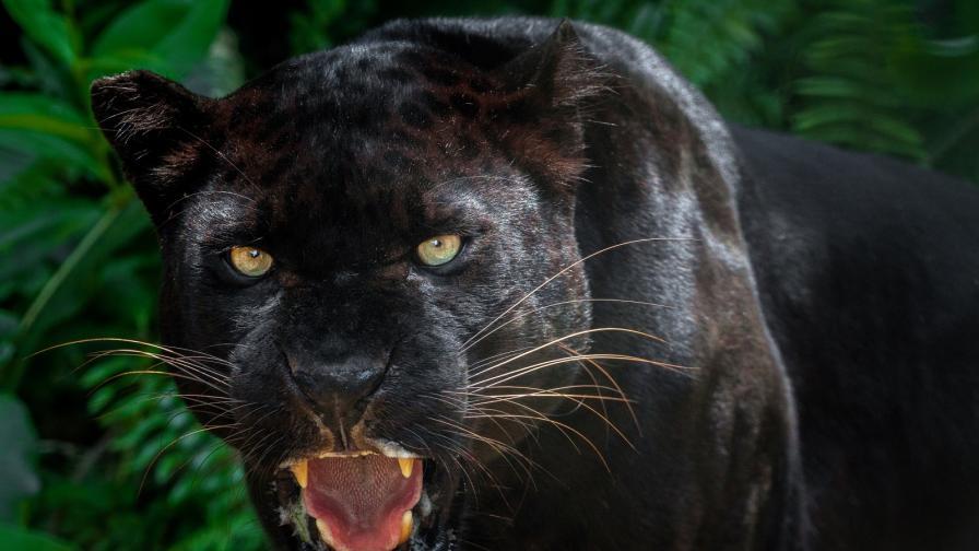 <p>Забелязаха <strong>черна пантера</strong> за пръв път от 100 години&nbsp;</p>