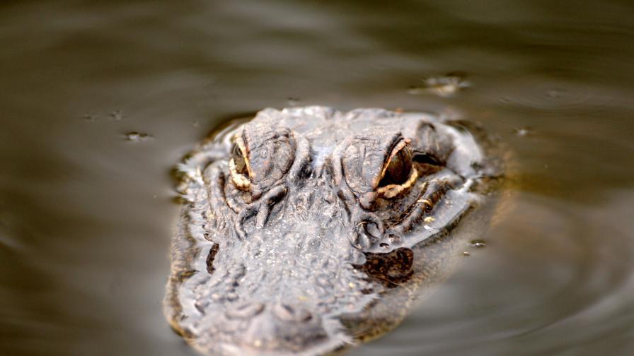 <p>Оранжеви алигатори се появиха в САЩ</p>