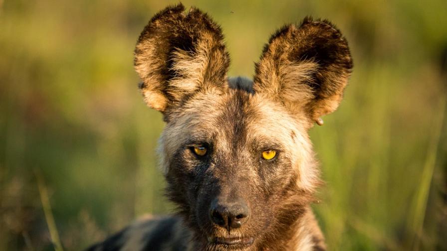 Нито хиени, нито кучета - какво прави тези животни толкова уникални