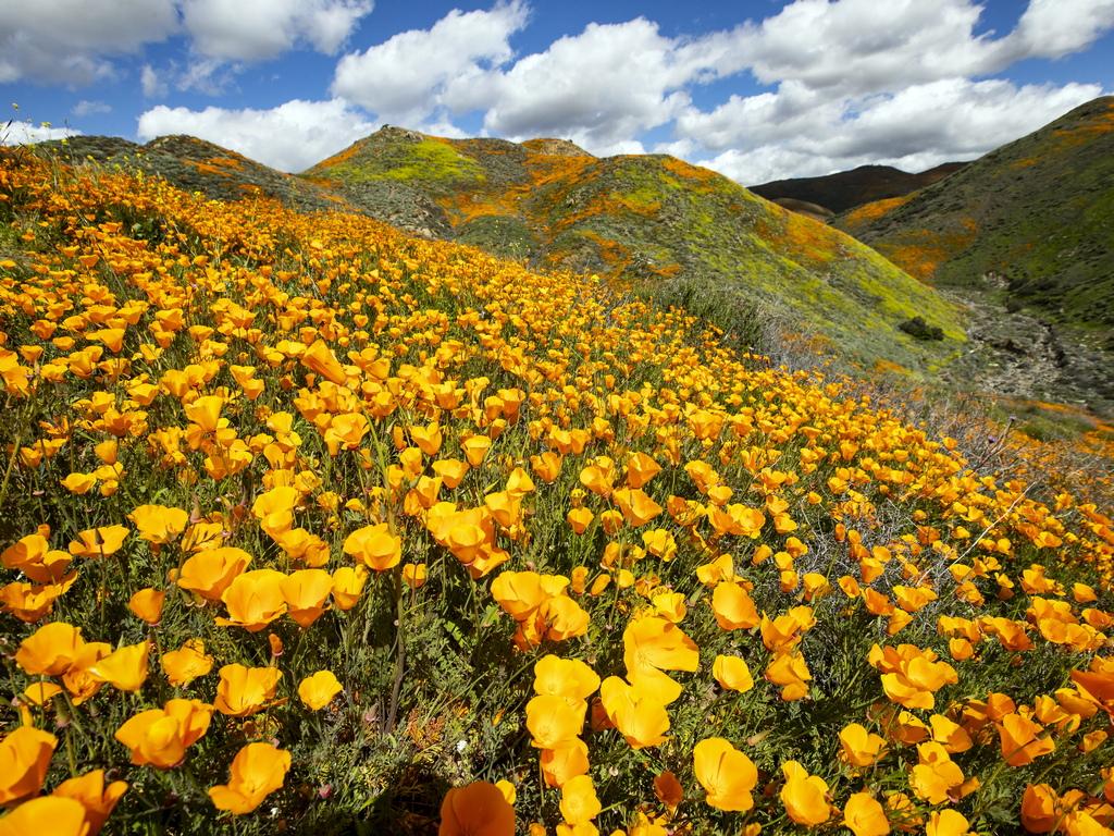 Растенията, разцъфнали в Пустинята Анза-Борего, източно от Сан Диего, Калифорния. Необичайно влажната зима в Южна Калифорния отстъпи място на супер цъфтеж на диви цветя