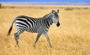 <p>Фотограф засне <strong>зебра на точки</strong> (СНИМКА)</p>