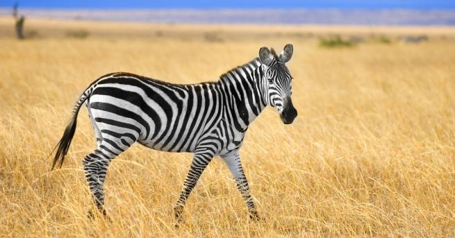 Любопитно Фотограф засне зебра на точки (СНИМКА) Фотограф засне малка