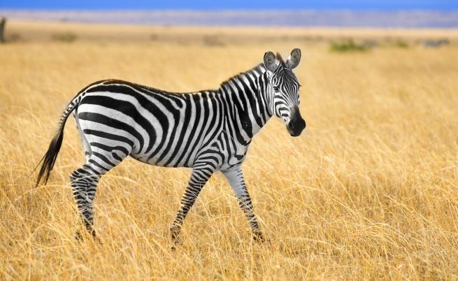 Фотограф засне зебра на точки (СНИМКА)