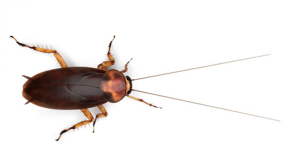 <p>Китайски фермер отглежда хлебарки като свои деца</p>