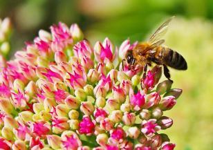 Ще загубим ли дивите пчели